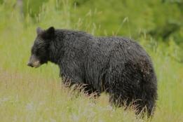 Black bear, Whistler, BC