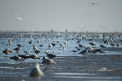 The Belgian Coast: not for ornithopobics